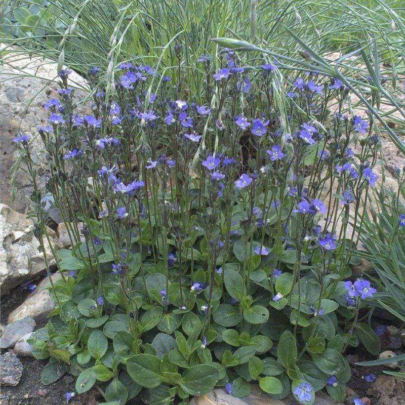 Вероника крупно цветковая