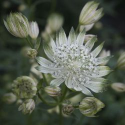 Астранция большая  White Giant (Astrantia major White Giant)