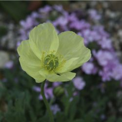 Мак (Papaver sp. from New Zealand)