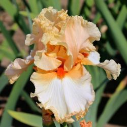 Ирис Attractive Lady (Iris Attractive Lady)*