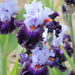 Ирис Honourable Lord (Iris Honourable Lord)*