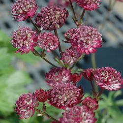 Астранция Star of Fire (Astrantia major Star of Fire)*