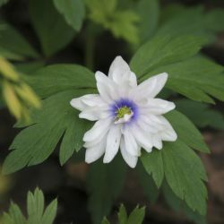 Анемона  дубравная Blue Eyes (Anemone nemorosa Blue Eyes)