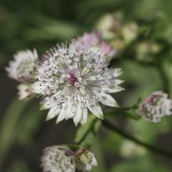 Астранция большая Variegata (Astrantia major Variegata)