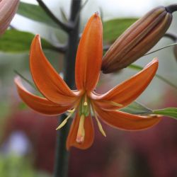 Лилия мартагон Orange Marmelade (Lilium martagon Orange Marmelade)