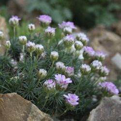 Армерия можжевелолистная New Zealand Form (Armeria juniperifolia New Zealand Form)
