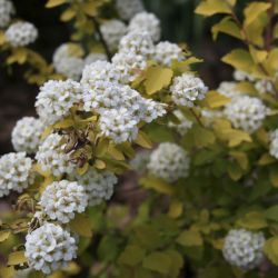 Спирея (Spiraea vanhouttei Gold Fountain)