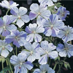 Герань луговая (Geranium pratense Splish Splash)
