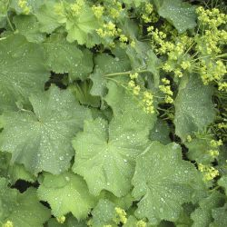 "Манжетка  ""Greenish-Yellow""  (Alchemilla Mollis  ""Greenish-Yellow"")"