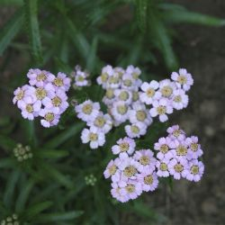 Тысячелистник Love Parade (Achillea sibirica Love Parade)
